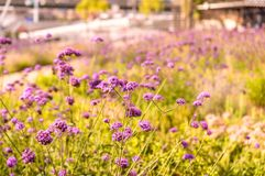 Abstract violet flowers on field.  Stock Images
