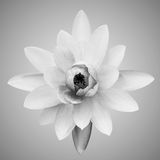 Abstract of waterlily. Abstract of Black & White waterlily Stock Images