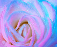 Abstract wet rose background Stock Image