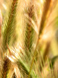 Abstract Wheat. Abstract of wheat growing in a field outdoors Royalty Free Stock Images
