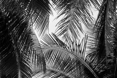 Abstract white and black coconut palms leaf stock photography