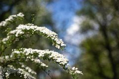 On the branch spirea bloomed many small flowers . Texture or background royalty free stock photo