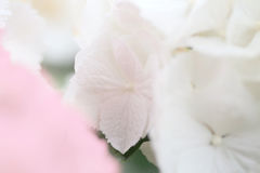 Abstract white petal background, close up of hydrangea flower by macro lens Stock Image