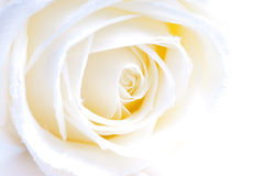 Abstract white rose macro Royalty Free Stock Images