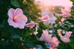 Rose mallow from hibiscus blooming. Abstract wild flowers on roadside at sunset, rose mallow from hibiscus blooming in pink with backlight in evening, plant with Stock Image