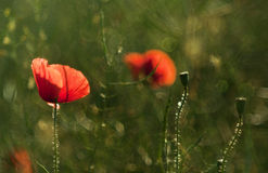 Abstract wild poppy Royalty Free Stock Images