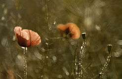 Abstract wild poppy Stock Image