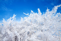 Abstract winter background. Plant covered with snow against the blue sky Stock Photo