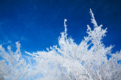 Abstract winter background. Plant covered with snow against the blue sky Royalty Free Stock Photography