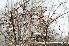 Abstract winter background of snow and frozen berries. 1 Stock Photo