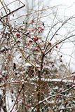 Abstract winter background of snow and frozen berries. 1 Royalty Free Stock Images