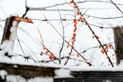 Abstract winter background of snow and frozen berries. 1 Stock Image