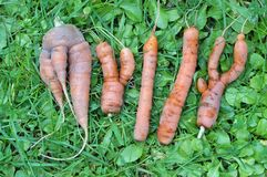 The abstract word. `MYLLY` is made from ugly carrots on green grass Stock Photos