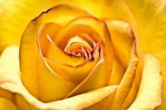 Abstract yellow beautiful rose. Close-up abstract yellow beautiful rose Stock Photos
