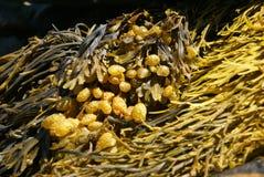 Abstract - yellow & brown kelp royalty free stock photo