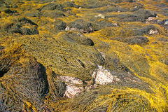 Abstract - yellow & brown kelp swirling patterns Royalty Free Stock Image