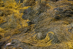 Abstract - yellow & brown kelp Stock Photography