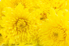 Abstract Yellow chrysanthemums for background. Stock Images