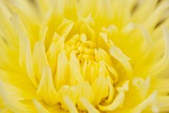 Abstract yellow floral defocus background. Macro photography. fine art. Floral yellow blurred background with macro delicate flower abstract picture. Beautiful royalty free stock photos