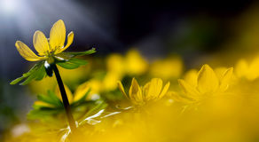 Abstract yellow flowers. Blurred on the field at spring Stock Photo