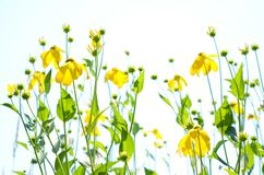 Abstract yellow flowers in field against white sky copyspace. Wispy, breezy, carefree, clean bright yellow flowers, green leaves and stems; copyspace Stock Images