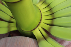 Abstract of Young Bananas Growing from the Flower Royalty Free Stock Image