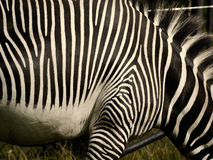 Abstract Zebra. Zebra stripes making cool paterns royalty free stock photo