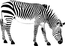 Abstract zebra Stock Photography