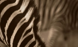 Abstract zebra photo Stock Images