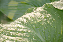 Abstracte achtergrond met dalingen van regenwater op grote groene bladeren van de installatie Royalty-vrije Stock Foto's