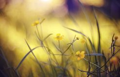 Abstracte achtergrond met gele boterbloemen Royalty-vrije Stock Fotografie