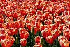 Abstracte achtergrond, oneindig gebied van rode tulpen royalty-vrije stock afbeeldingen