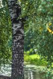 Abstracte Achtergrond van Berkbomen op Sunny Autumn Day stock afbeeldingen