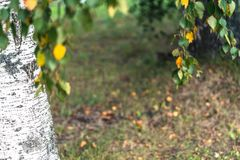 Abstracte Achtergrond van Berkbomen op Sunny Autumn Day royalty-vrije stock afbeelding