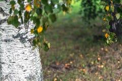 Abstracte Achtergrond van Berkbomen op Sunny Autumn Day stock foto