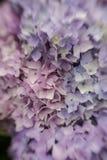 Abstracte achtergrond van blauwe hydrangea hortensia Stock Afbeelding