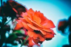 Abstracte Achtergrond van Bloemen Close-up Het rood van het huwelijk royalty-vrije stock foto