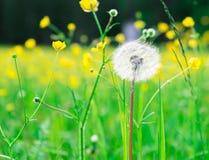 Abstracte achtergrond van blowball met kleine bloeiende gele bloemen Royalty-vrije Stock Foto