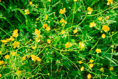 Abstracte achtergrond van groene weide met de kleine gele bloesems van celandine Stock Afbeelding