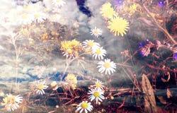 abstracte achtergrond Wilde het groeien paardebloemen en podia stock fotografie