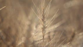 Abstracte achtergrond - zonnige dag, tarwegebied Aartjes van tarwe op de zomergebied stock videobeelden