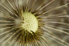 Abstracte Bloem: Seedpods met weerhaken op Paardebloem stock afbeeldingen