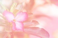 Abstracte bloemachtergrond met de roze filters van de bloemkleur Stock Foto