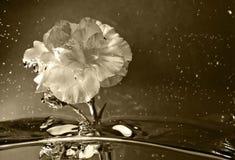 Abstracte die Bloem in water wordt ondergedompeld. omgezet in Sepia Stock Foto's