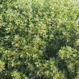 Abstracte groene struikachtergrond Royalty-vrije Stock Foto