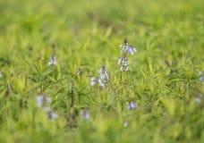 Abstracte, kleine purpere wildflowers verborgen bijna in het groene gras stock afbeeldingen