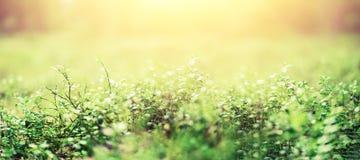 Abstracte natuurlijke achtergrond met licht bokeh en lekkeneffect Gras in bos de Zomerconcept De ruimte van het exemplaar banner  royalty-vrije stock foto