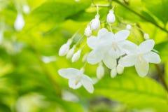 Abstracte onduidelijk beeldachtergrond van witte bloemen Stock Foto
