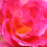 Abstracte Rose Background met waterdruppeltjes Stock Fotografie