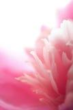 Abstracte roze geïsoleerdew pioenbloem Stock Afbeeldingen